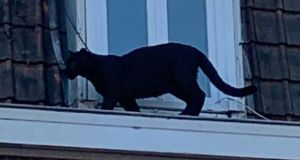 A young black panther seen prowling the roofs of a town in northern France has been captured by emergency services Photograph: French fire service