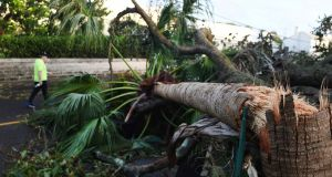A man walks past a palm tree felled by Hurricane Humberto in the Smiths parish of Bermuda on Thursday. Photograph: Akil J Simmons/AP Photo