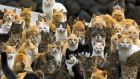 Cats crowd the harbour on Aoshima island in the Ehime prefecture in southern Japan. File photograph: Thomas Peter/Reuters
