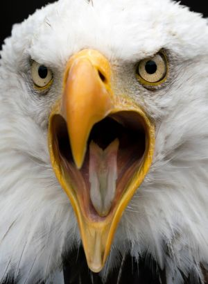 BACK OFF: A bald eagle shouts at a zoo in Neunkirchen, Germany. Photograph: Ronald Wittek/EPA