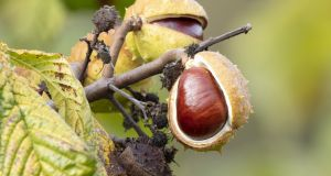 Horse chestnuts have been assessed as 'vulnerable' to extinction in Europe. Photograph: iStock