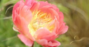 Peony in flower. Photograph:  Richard Johnston