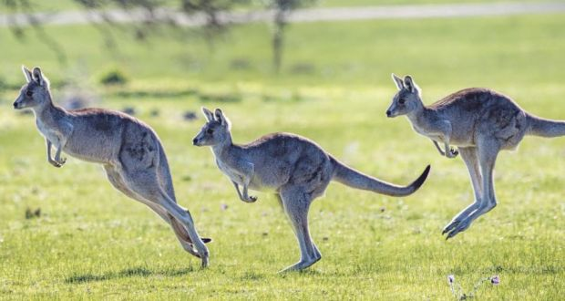 Driver allegedly kills 20 kangaroos and joeys in 'acts of