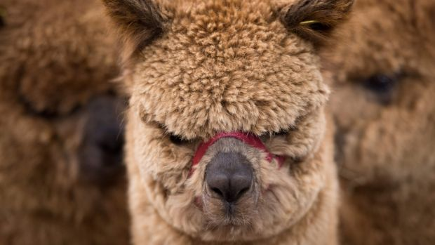 Animal experiences include chilling out with alpacas. File photograph: Oli Scarf/ AFP/Getty