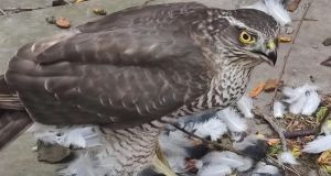 A sparrowhawk, having caught a pigeon