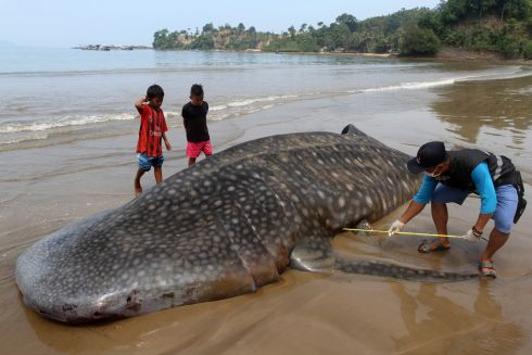An official measures the size of a whale shark (Rhincodon typus) carcass on the shore of Teluk Betung beach in west Sumatra, Indonesia. The dead whale shark washed ashore at Teluk Betung beach on Monday. Photograph: Rajo Batuah/EPA