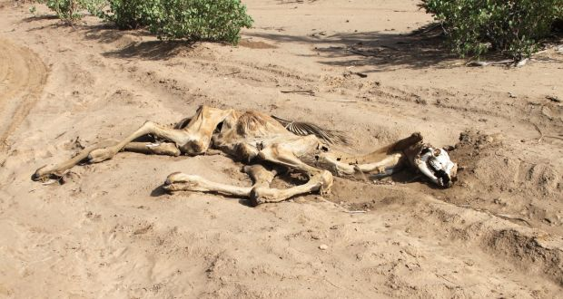 The carcass of a dead camel in Nayuu, northern Kenya. Pastoralist people are seeing their animals perish because of a lack of water and grazing due to the prolonged drought. Photograph: David O'Hare/Trócaire