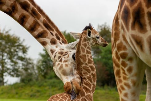 AWW: Fota Wildlife Park announced the birth of a male Rothschild's giraffe to mother Sapphire and first-time father Ferdia. Fota are asking the public to help name the calf through a form on their blog. Photograph: Sinéad Donnachie