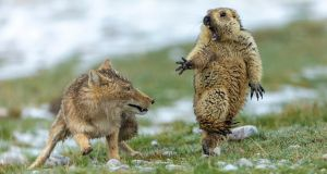 An intense 'battle for survival' between a Tibetan fox and a marmot. Photograph: Yongqing Bao/PA.