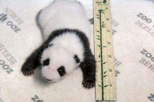 BABY PANDA: One of two giant pandas lying next to a measuring tape with its eyes open for the first time, at the Zoologischer Garten zoo in Berlin.It is the first giant panda offspring in Germany. The Berlin panda Meng Meng gave birth to twins on August 31st. On loan from China, Meng Meng and male panda Jiao Qing arrived in Berlin in June 2017. While the cubs are born in Berlin, they remain Chinese and must be returned to China within four years after they have been weaned. Photograph: Zoo Berlin handout/AFP via Getty