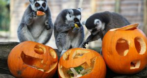 SCARY MONSTERS? Ring-tailed Lemurs get into the Halloween spirit at Tayto Park in Dublin, ahead of the official opening of The Wicked Adventures at Tayto Park this weekend, a children's attraction for this time of year.  Photograph Nick Bradshaw for The Irish Times