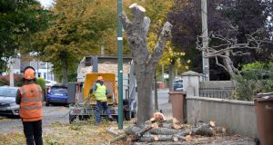 Trees being cut on St Canice's Road, Glasnevin, Dublin. Photograph: Dara Mac Dónaill/The Irish Times