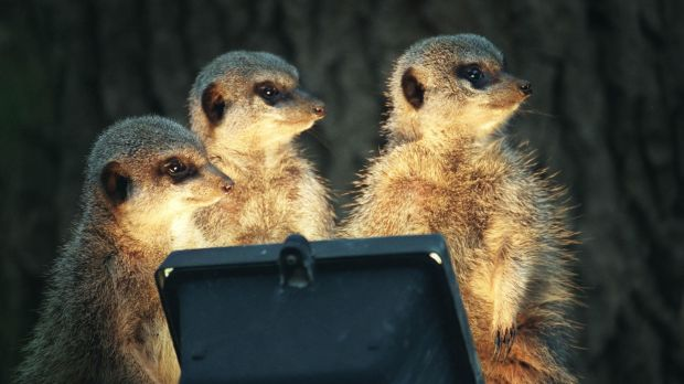 Meerkats at Dublin Zoo warm up with the help of heat lamps when cold weather hits. Photograph: Dara Mac Dónaill