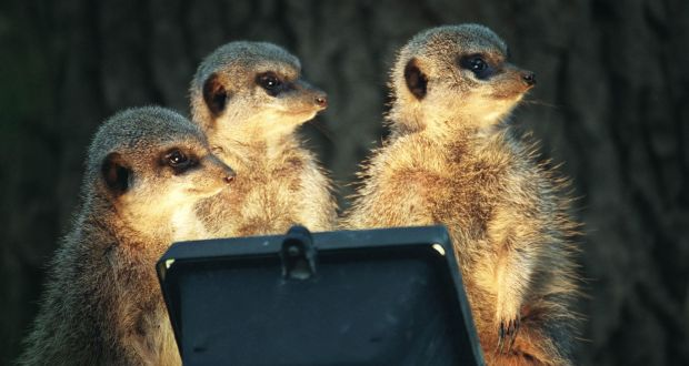 Meerkats Dublin Zoo