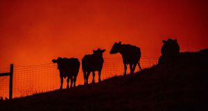 Cows stand in a field as fire approaches them  near Geyserville, California. Photograph: Josh Edelson/AFP via Getty Images