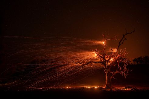 CALIFORNIA FIRES: High winds blow hot embers from a burning oak tree near Windsor, California, US.  Photograph: Peter DaSilva/EPA
