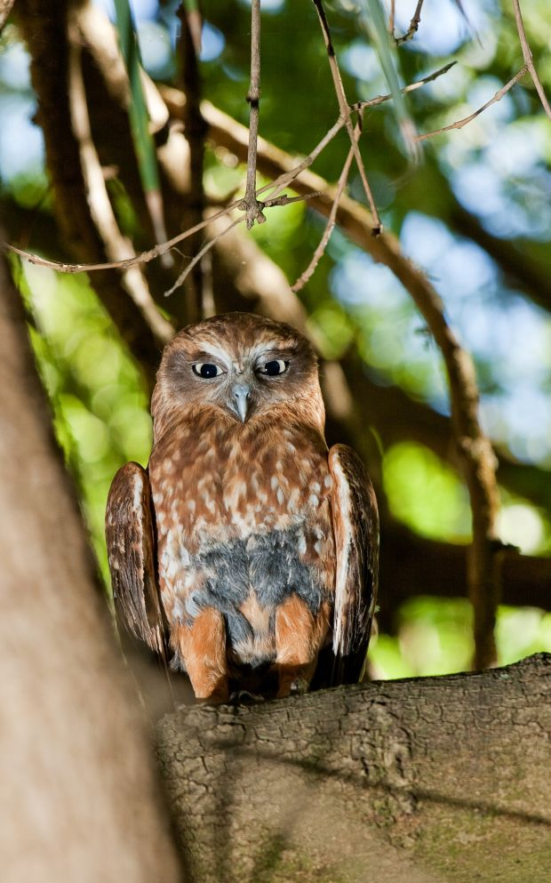 'Outside a Southern Boobook owl is hooting with its distinctive call here in Tasmania'. Photograph: iStock