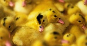 Banned in NYC: ducklings at Hudson Valley Foie Gras Farm in New York state. Photograph: Don Emmert/AFP via Getty