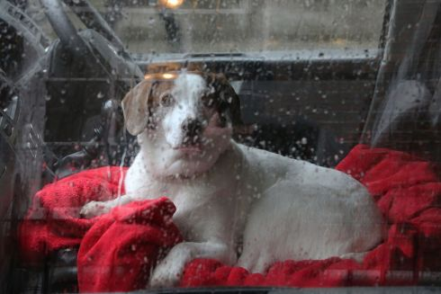 PAMPERED POOCH: A dog watches a wet world go by in Dublin. Photograph: Nick Bradshaw