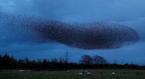 NOVEMBER MAGIC: A murmuration of starlings above the town of Gretna Green in Scotland. Photograph: Phil Noble/Reuters