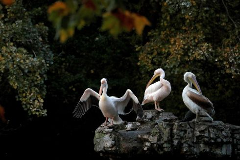 PRIDE OF PLACE: Pelicans pictured in St James's Park in central London. Photograph: Adrian Dennis/AFP/Getty