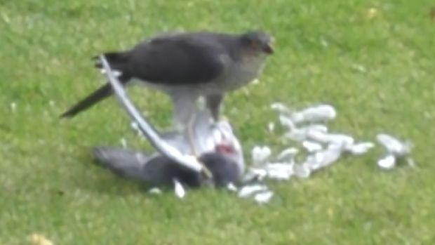 A sparrowhawk with its prey, a pigeon.