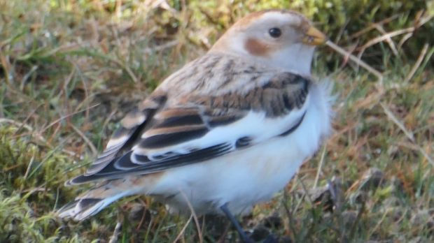 Snow bunting seen just north of Slieve Meelmore in the Mourne Mountains