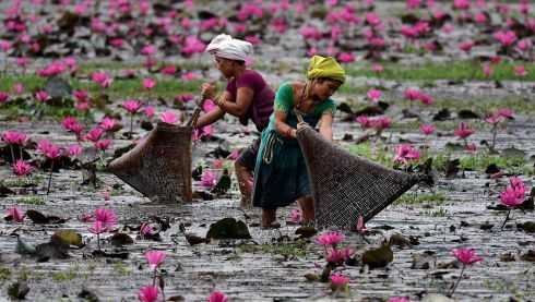 HARD AT WORK: Women catch fish in marshland boasting blooming lotus flowers at Budha Mayong village in Morigaon district, Assam, India. Photograph: EPA