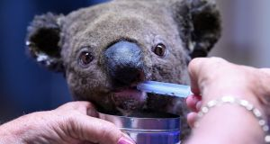 A dehydrated and injured Koala receives treatment at the Port Macquarie Koala Hospital in New South Wales.  Photograph: Saeed Khan/AFP via Getty Images