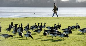 Brent geese at Clontarf seafront: Crekav says the residents' case could affect plans to develop the lands. Photograph: Alan Betson