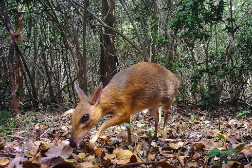 REDISCOVERED: British scientific journal Nature Ecology & Evolution published the first photos and footage of a silver-backed chevrotain, which was last recorded more than 25 years ago and is the first mammal rediscovered on Global Wildlife Conservations list of top 25 most wanted lost species. Photograph: NCNP/AFP/Getty
