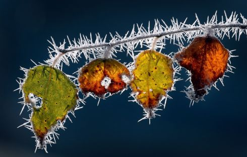 COLD COLOURS: Ice needles cover autumnally coloured leaves still hanging on a branch in Marktoberdorf, southern Germany. Photograph: Karl-Josef Hildenbrand/dpa/AFP/Getty