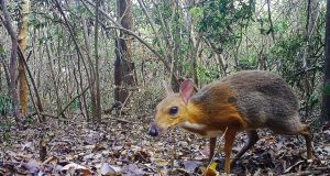 A silver-backed chevrotain, also named the Vietnamese mouse-deer, pictured in an unknown location in Vietnam by a camera trap. Photograph: NCNP/AFP via Getty Images