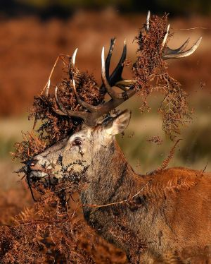 CONQUER BY STEALTH? A stag covered in dried bracken prepares to clash with a rival male deer during the rutting season in Richmond Park, west London, Britain. Photograph: Toby Melville/Reuters