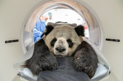 FLAT OUT: Male giant panda Jiao Ling endures a medical examination of his kidneys in a computer tomograph at the Leibniz Institute for Zoo and Wildlife Research, in Berlin, Germany. Photograph: Zoo Berlin/EPA