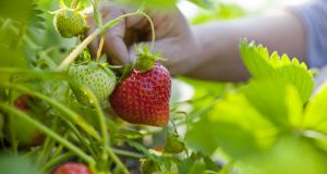 Sectors such as fruit picking are seen as the most likely beneficiaries of the proposed new system. Photograph: iStock