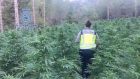 Spanish police discover 16,000 marijuana plants in remote forests