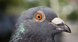 Dublin City Council erected a number of signs in the area which state: Do Not Feed Pigeons Or Other Birds By Order. Photograph: iStock