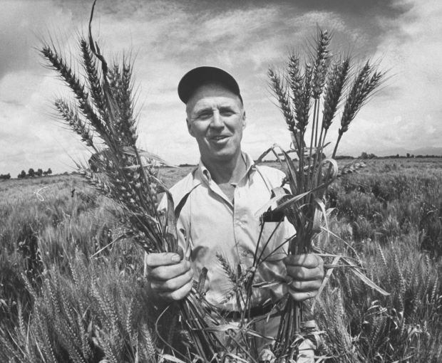 Green revolution: Norman Borlaug crossbred wheat to be more disease-resistant and so produce bigger yields. Photograph: Art Rickerby/Life/Getty
