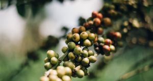 Coffee beans growing in Uganda. Photograph: Fionn McCann Photography