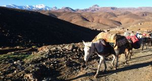 Mules carrying the luggage during a trekking tour through Morocco