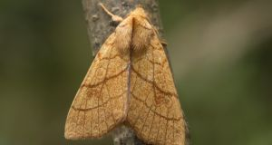Orange Sallow moth. Changes to the climate and environmental pollution are having devastating effects on moth populations in northern Europe. Photograph: Lee Evans-Hill
