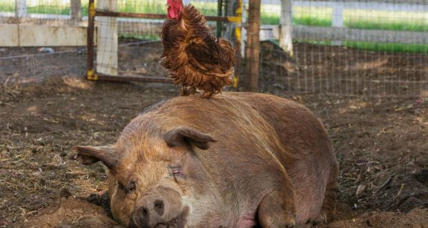 Emma the pig and a ragged rooster in The Biggest Little Farm