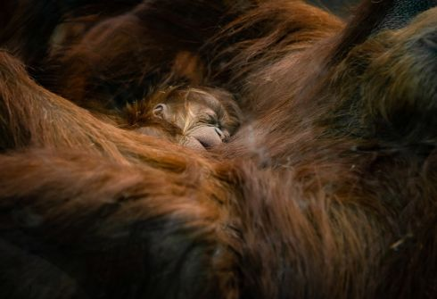 BABY: A newly born orangutan infant of a critically endangered Sumatran species is seen with its mother at a zoo in Chester. Photograph: Chester Zoo via Reuters