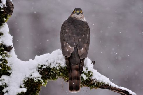 BEADY EYES: A sparrowhawk (Accipiter nisus) perches on a tree during snowfall near Pomaz, northern Hungary. Photograph: Attila Kovacs/EPA