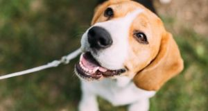Some pet owners are convinced their dogs understand what they are saying, and even claim to have conversations with their four-legged friends.  Photograph: iStock
