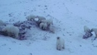 56 hungry polar bears 'invade' Russian village