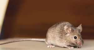 The presence of rodents and other pests presents a grave and immediate danger to consumers' health, said the Food Safety Authority of Ireland. Photograph: iStock