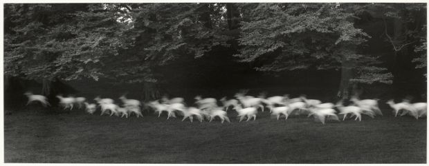 Paul Caponigro's White Deer, County Wicklow, Ireland, 1967. Gelatin silver print. Bank of America Collection © Paul Caponigro, 2019