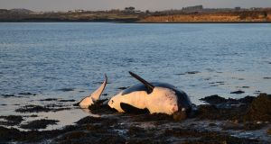 A killer whale that was washed up in Co Waterford. Photograph: Clare Scott